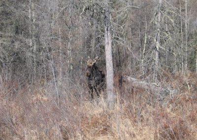 A rare moose siting
